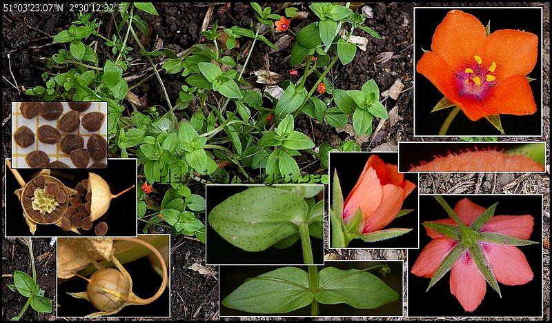 Lychnis coronaria - Coquelourde des jardins lychnis coronaria ...